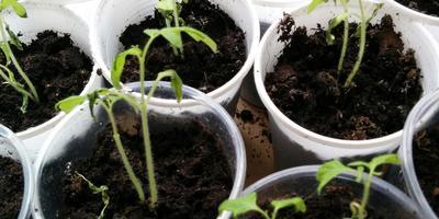 Что случилось с рассадой томатов?