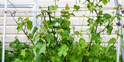 Как поступить с виноградом?