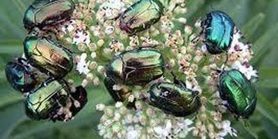 Как бороться с жуками-бронзовками?