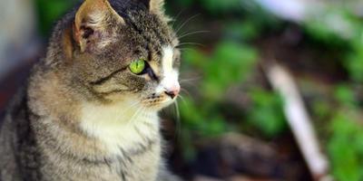 Дачный журнал кошки Кэт. Сватовство гусара