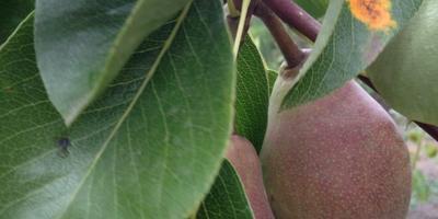 Что за желто-ржавые пятна появились на листьях груши?