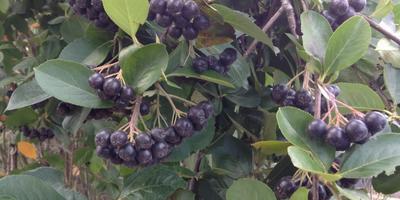 Чудо-ягода черноплодная рябина