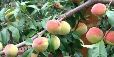 Персиковое изобилие