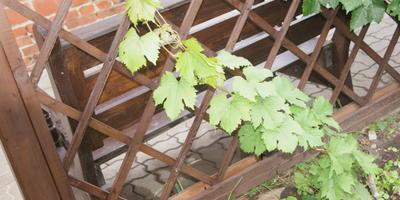 Как я вырастила виноград из черенков. Опыт начинающего