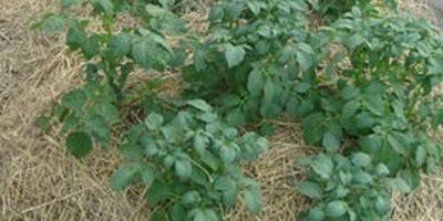 Поздняя посадка картофеля. Результат посадки 12 июня