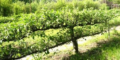 Как лучше формировать плодовые?