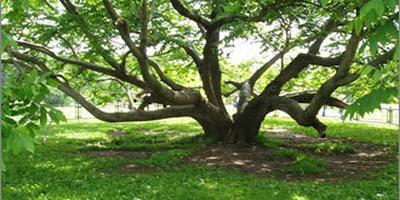 Букетная посадка деревьев