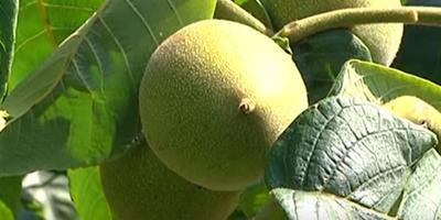 Вырасти у себя маньчжурский орех