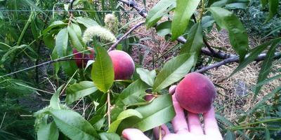 Персики в сиропе
