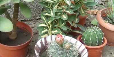 Магия кактуса
