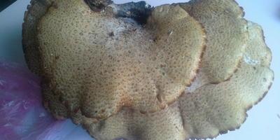 Помогите определить гриб. Можно ли его готовить?