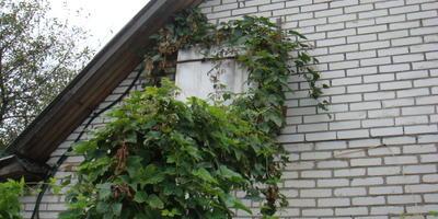Забор, клематис и хмель