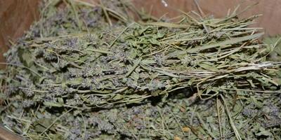 Богородская трава для нашего здоровья