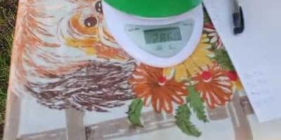 """Самый урожайный куст """"Малиновое Чудо"""" - 17 кг!"""