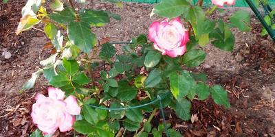 Поникли розы после посадки. Что делать?