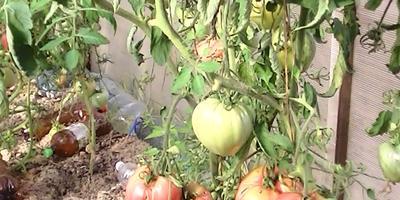 Наш любимый помидор