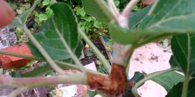 Яблоня сбросила завязи вместе с листочками - болезнь или вредитель?