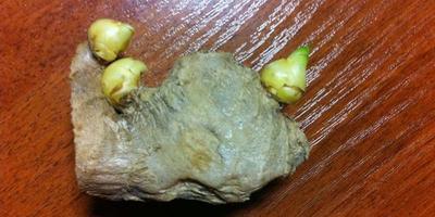Как правильно посадить корень имбиря?