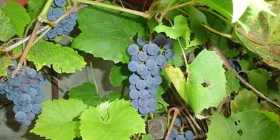 Благородный виноград, выращенный в Нечерноземье, или Трудное моё хобби. Мой урожай - 2016, глава 1