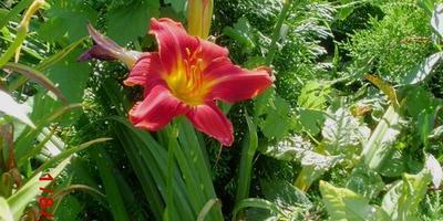 Красавцы-лилейники в моём саду