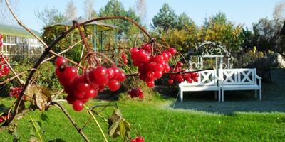 """Рубиновые """"бусы"""" - женский оберег, или Калина в моём саду"""