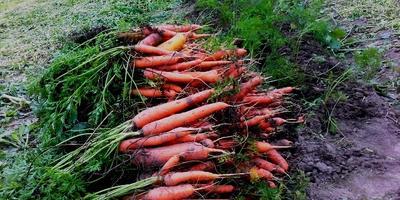 Русский огород не подвёл, или Морковь Нантская удалась