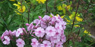 Флокс и лилии