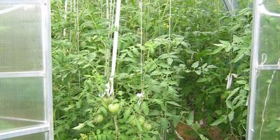 Урожай Сеньоров-Помидоров