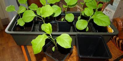 Стоит ли из маленького горшочка пересадить баклажаны в большой? Высадить их в грунт планирую в начале мая