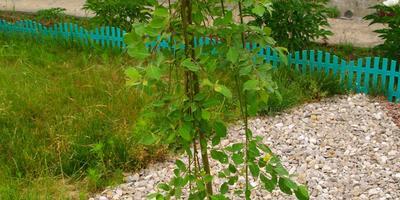 Мои зелёные красавицы....Приглашаю снова погулять по моему саду....