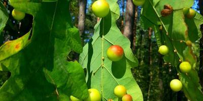 Что появилось на дубовых листочках?