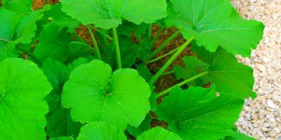 Кабачков зелёных скромный урожай...