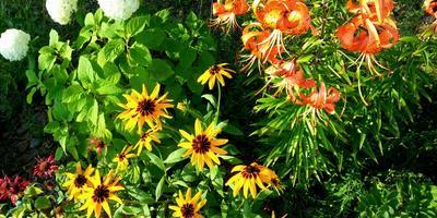 Рудбекия Глориоза Дейзи - солнечный цветок!