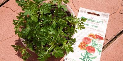 Выращивание бархатцев через рассаду