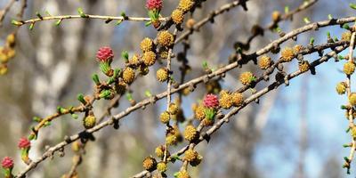 Цветение сибирской лиственницы