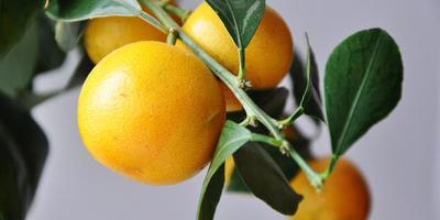 Каламондин - оседлый фрукт!