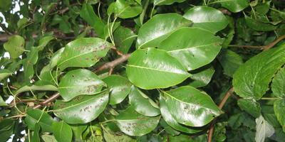 Отчего пострадали листья груши?