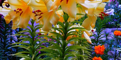 У лилии желтеют листья, мельчают цветы. Что с ней может быть?