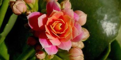 Соперник розы
