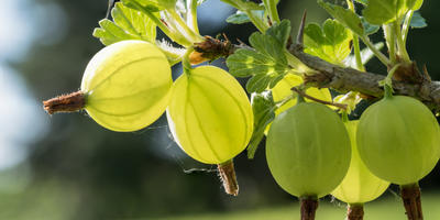 Секреты выращивания крыжовника