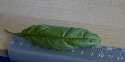Как и зачем я выращиваю базилик