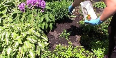 Многолетние цветы в саду: видео о летнем уходе и подкормке