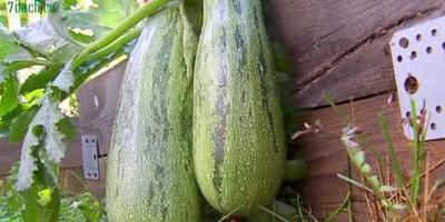 Кабачки: видео о секретах выращивания и оригинальном способе заготовки