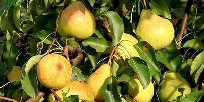 Яблоки и груши: видео о том, как сохранить урожай и уберечь от муравьёв и ос
