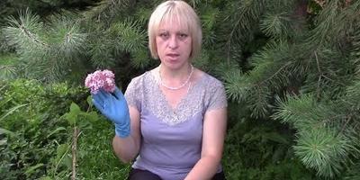 Гортензия: видео о том, как правильно её посадить