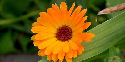 Календула в саду, огороде и косметологии: видео