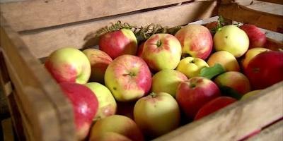 Как сохранить яблоки свежими надолго (видео)