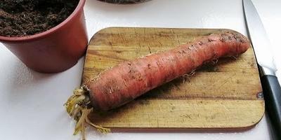 Как вырастить собственные семена моркови (видео)