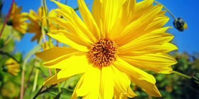 Топинамбур - последний урожай с огорода (видео)