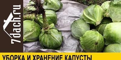 Уборка капусты и подготовка её к хранению (видео)